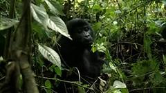 Video: Male Mountain Gorilla (5 y.o.) - Bwindi Impenatrable Forest, Uganda