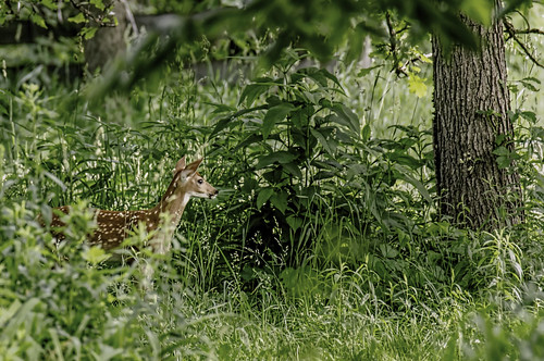 animals illinois thegrove wildlife deer fawns whitetaileddeer glenview nikkor18300mm