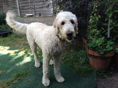 standard poodle(0.0), glen of imaal terrier(0.0), poodle(0.0), miniature poodle(1.0), dog breed(1.0), animal(1.0), dog(1.0), schnoodle(1.0), pumi(1.0), pet(1.0), lagotto romagnolo(1.0), mammal(1.0), poodle crossbreed(1.0), irish wolfhound(1.0), goldendoodle(1.0),