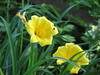 Day Lillies, yellow