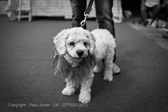 Gruffs & Poofs Dog Show - Vanilla