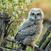 Great Horned Owlet  9320 by Bonnieg2010