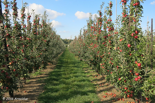 IMG_8008 - Appel Boomgaard - Apple Orchard