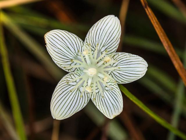 Parnassia caroliniana Carolina Grass-of-Parnassus, Olympus E-5, SIGMA 105mm F2.8 MACRO