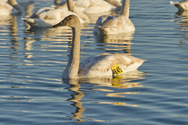 Trumpeter Cygnet 'R45', Canon EOS 7D, Canon EF 70-200mm f/4L IS