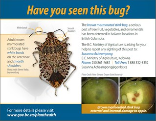 B.C. residents, particularly those in the Lower Mainland, Fraser Valley and Penticton area are being asked to support the Ministry of Agriculture's surveillance efforts by being on the lookout for any brown marmorated stink bugs, (Halyomorpah halys) that may be seeking winter refuge inside homes and buildings.