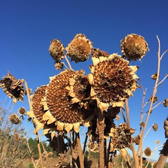 Sunflowers 309/365 #sunflowers #lafayetteco #colorado #project365 #365 #nofilter