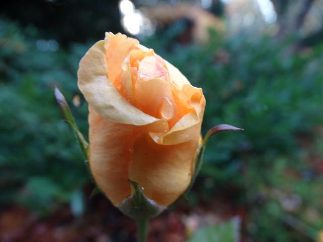 November rose bud, Sony DSC-HX300