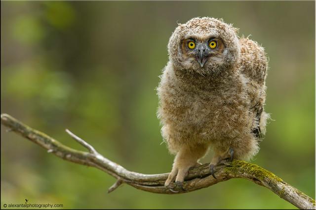 Great Horned Owl - Owlet