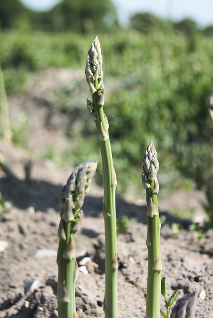 Pick your own asparagus