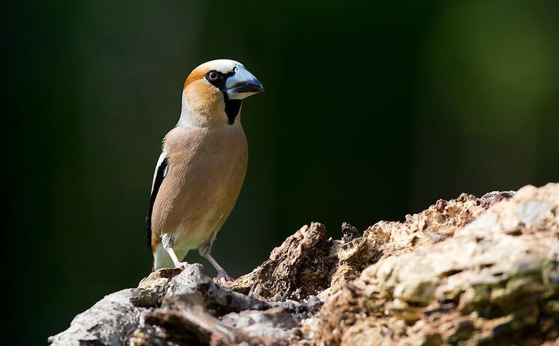 Stonking male Hawfinch
