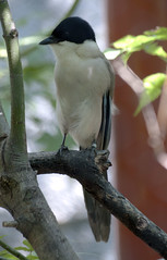 Azure Winged Magpie 09-01-2011 5
