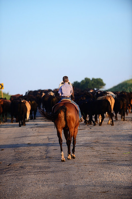 Shipping Cattle in July