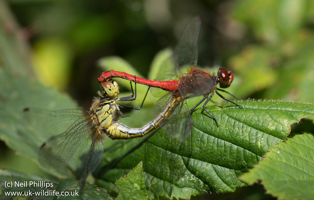 ruddy darter mating wheel