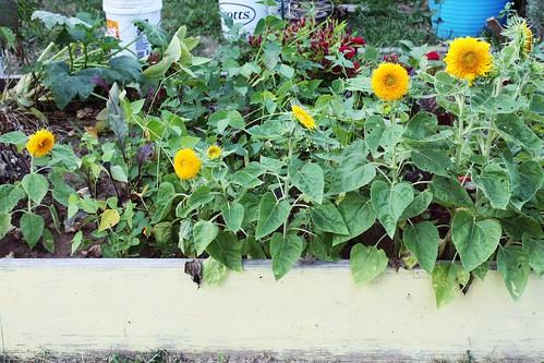 sunflowers! finally!