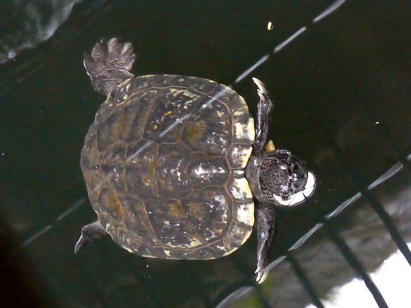Mandapeshwar Caves - Turtle in the water tank