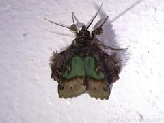 Emeraldine Moth - Ceroctena amynta - Family Noctuidae