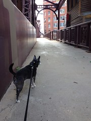 bridgewalkingdog