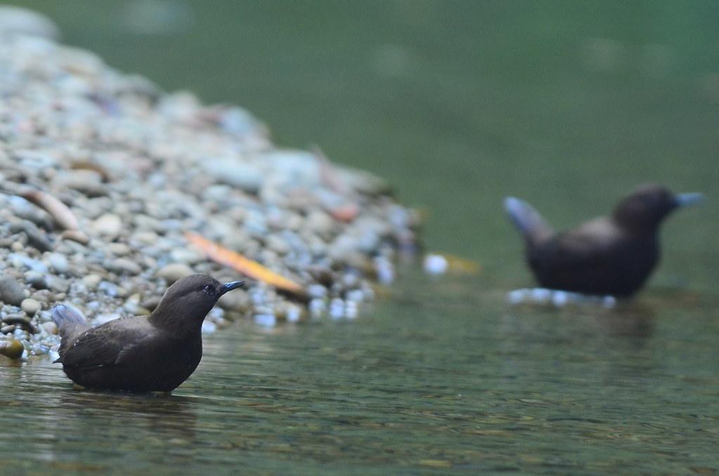 杉林溪賞鳥行之一-溪澗小精靈