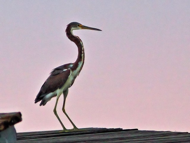 Tricolored Heron landing 04-20131020