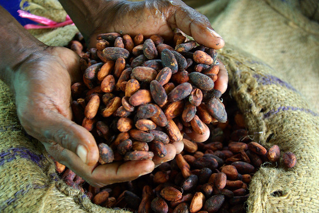 Cocoa farmer David Kebu Jnr holding the finished product, dried cocoa beans ready for export.