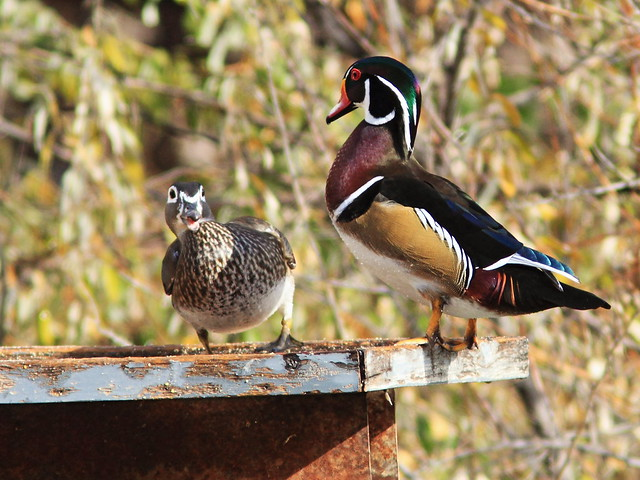 Wood Ducks 20131105