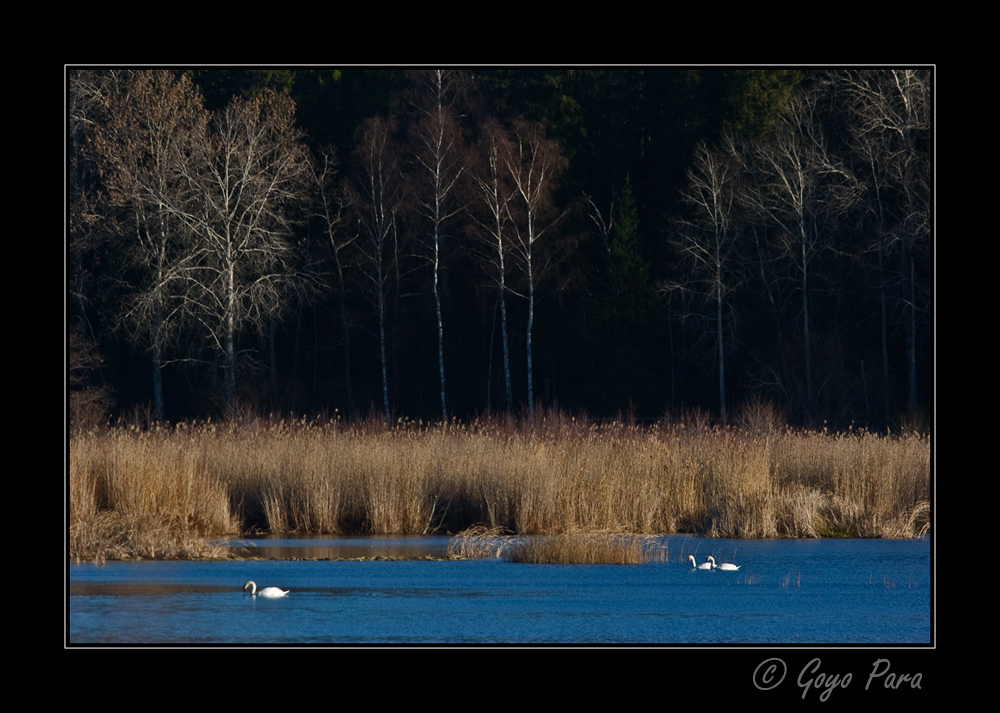 Cisnes por la mañana