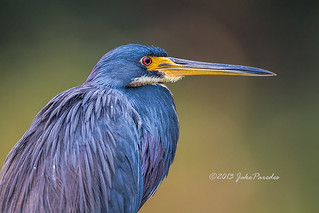 Portrait of a Tricolored Heron