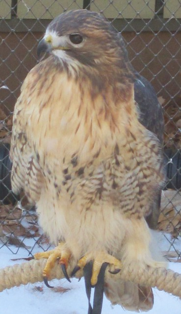 Hawk at Nature Center