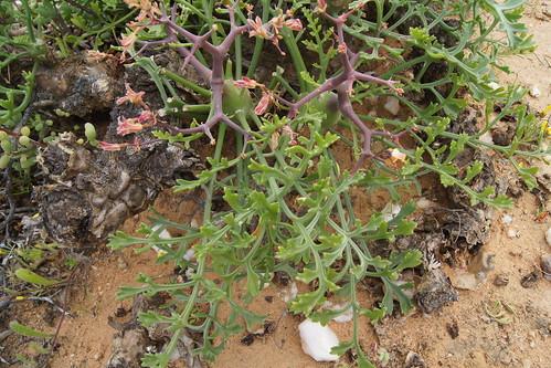 Pelargonium crithmifolium, leaves