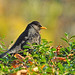 Autumnal blackbird