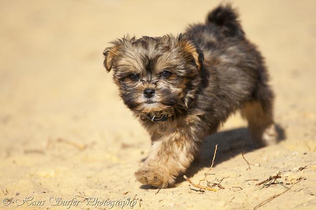 A Shih Tzu/Malthese puppy of 8 weeks!