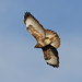"Common Buzzard  ""Buteo buteo"""