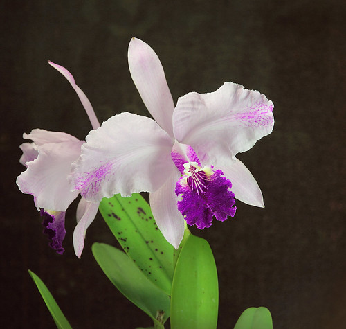 "Cattleya lueddemanniana ""Canaima´s Gochita"" by Matt & Family"