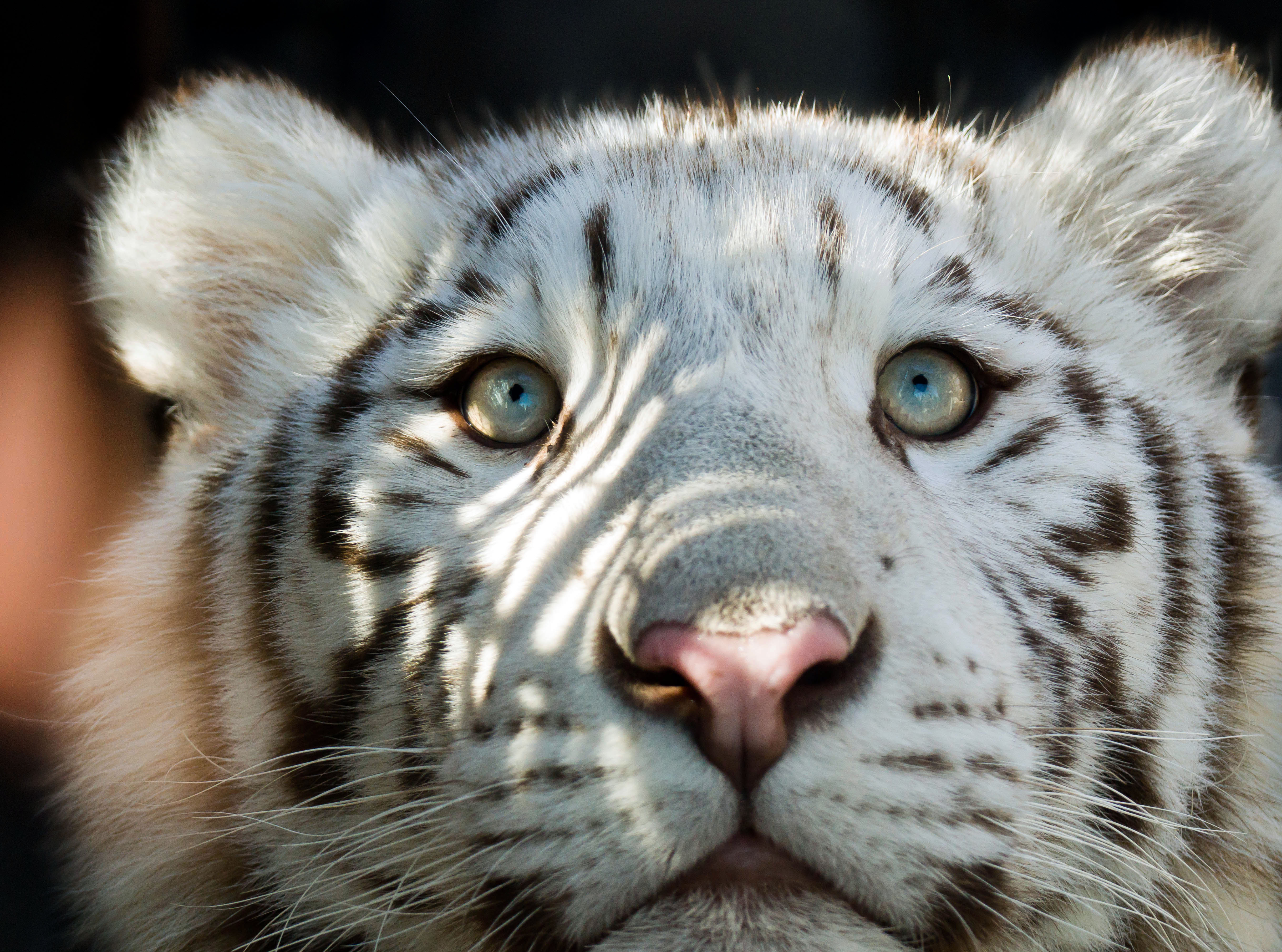 cute baby white tiger with blue eyes 4908395