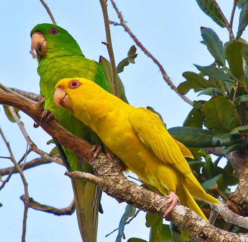nature birds texas mutation rarity greenparakeet aratingaholochlora rarityphoto lindelldillon