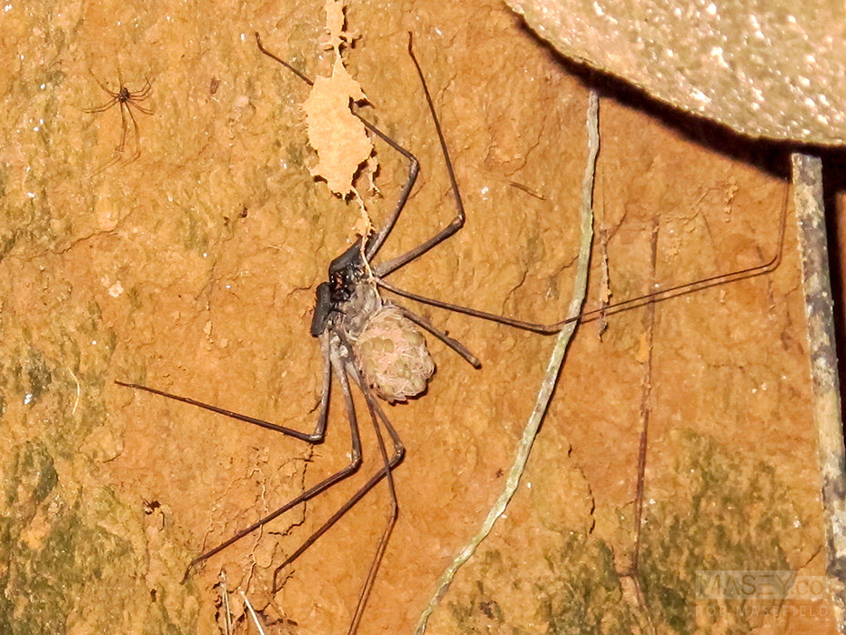 The Tail-less Whip Scorpion. Yikes!