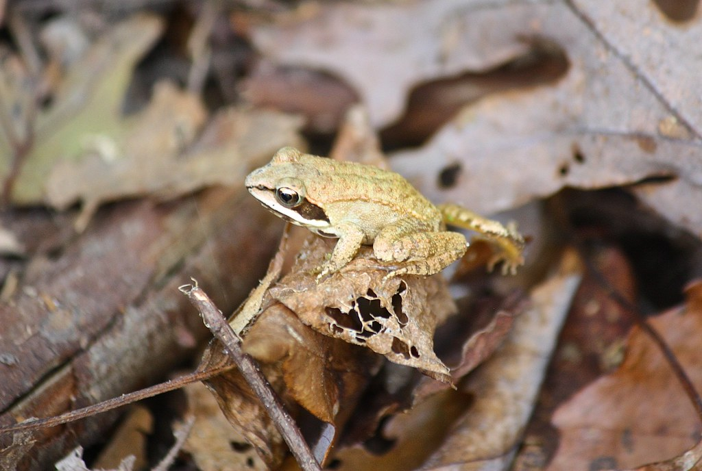 the wood frog essay