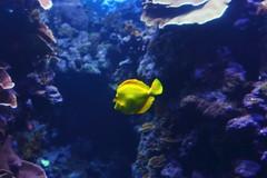 deep sea fish(0.0), coral reef(1.0), coral(1.0), fish(1.0), coral reef fish(1.0), ocean(1.0), marine biology(1.0), underwater(1.0), reef(1.0), pomacentridae(1.0),