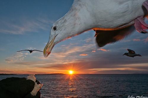 orange seagulls bird birds sunrise point mine pacific feeding seagull victoria pt clover fairfield boids dallasrd gulz