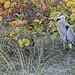 Heron Stalking the Fishermen