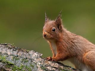 Red-Squirrel Portrait