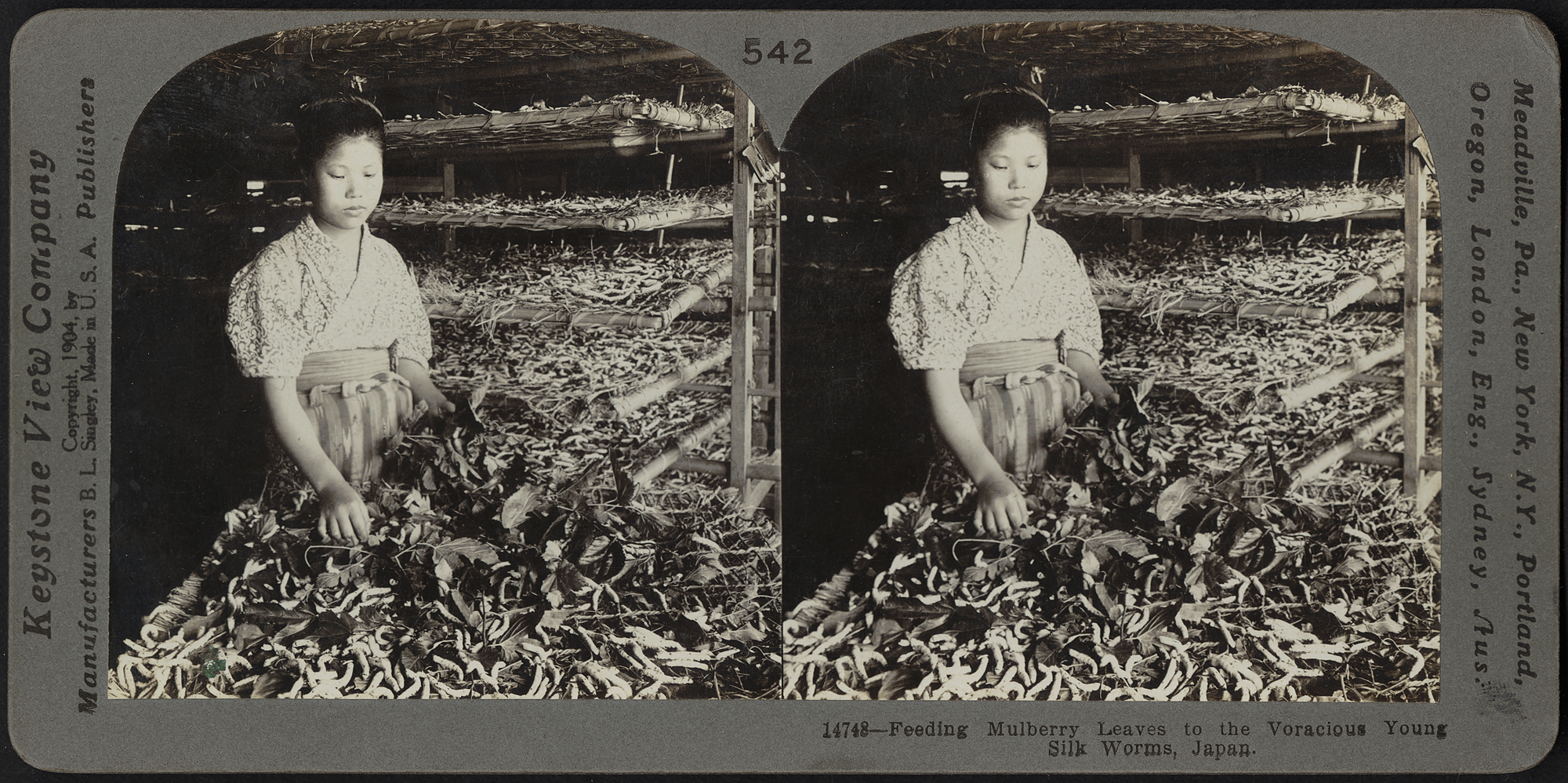 Feeding mulberry leaves to the young silkworms, Japan