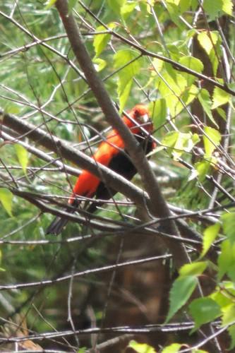 #64 Scarlet Tanager (Piranga olivacea)