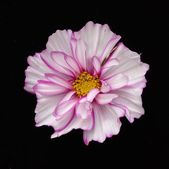 DP2M3018  Cosmos Flower Head from the Dacha Garden