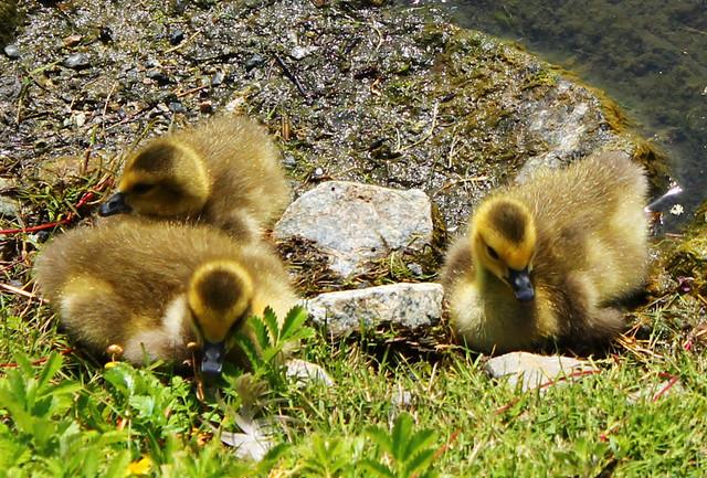 Canada Goose chicks2