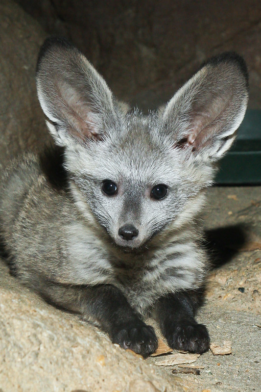 Bat Eared Fox Pup