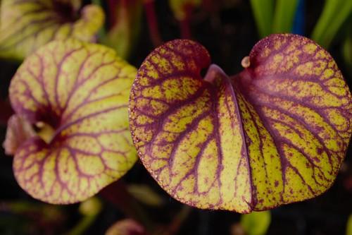 Photo Plantes--carnivors ( Sarracenia ) 14238903595_71a7df1f5f