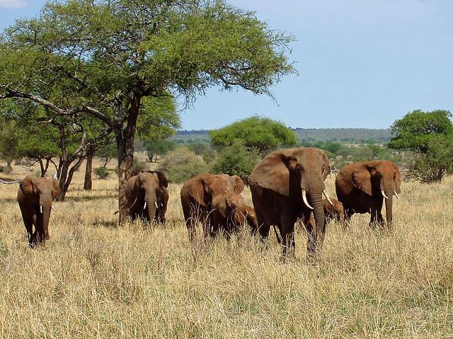 Elephants in Tarangire, Tanzania