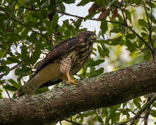 hawk broadwingedhawk broadwinged